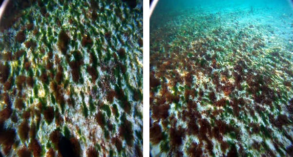 Algae and Coral Reefs