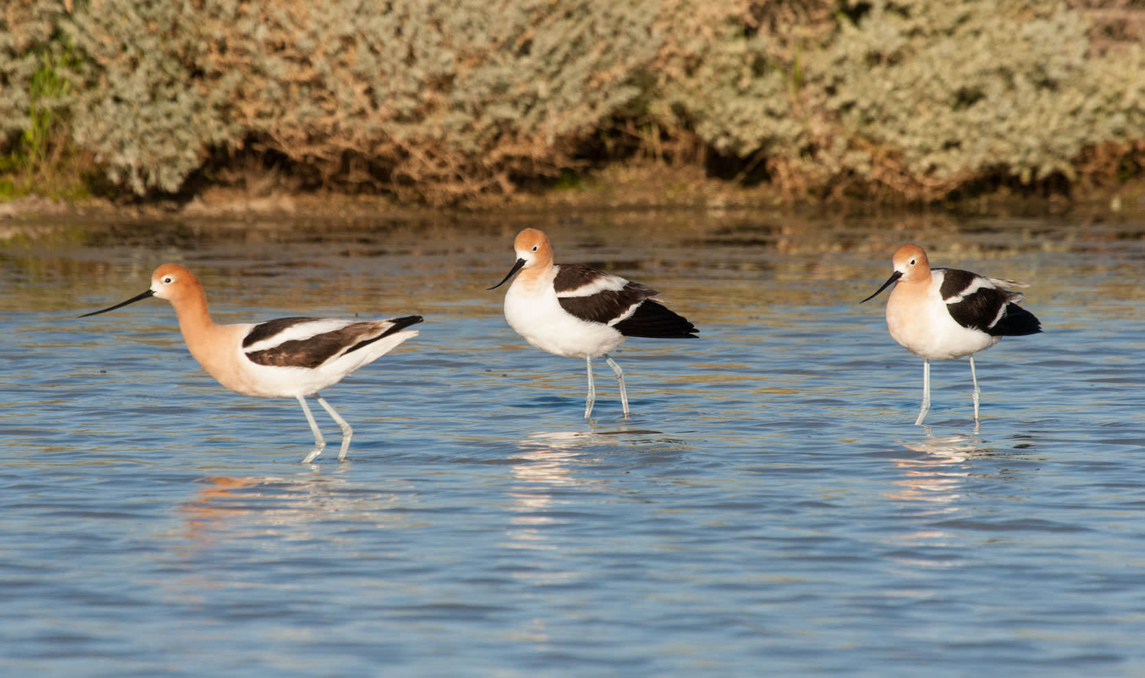 Avocets on the Carrizo Plains