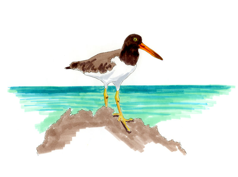 American Oystercatcher on the rocks off Abaco, Bahamas