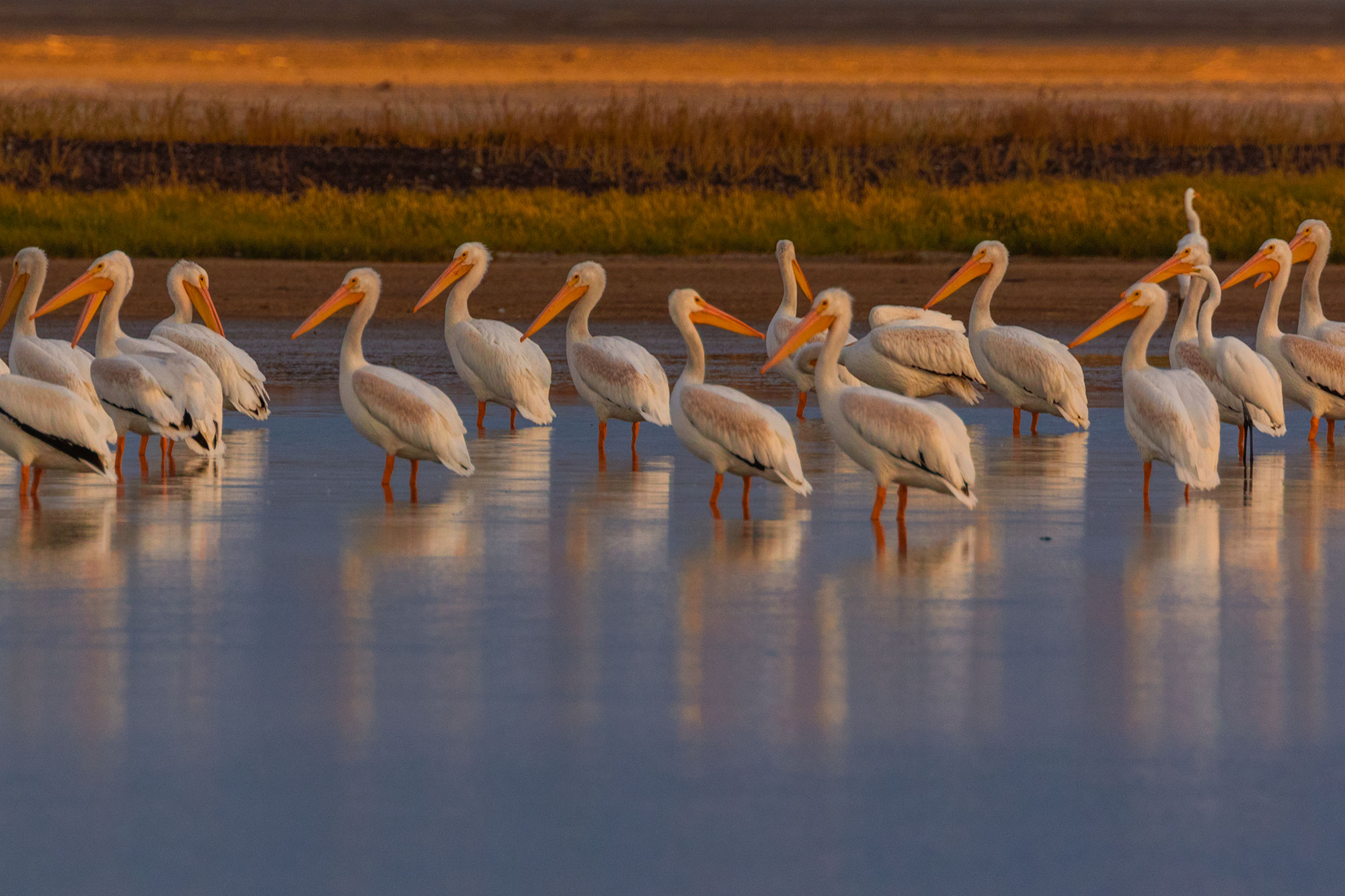 American White Pelicans in the marsh of Summer Lake
