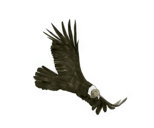 Andean Condor in Flight in Ecuador.  Bird sketch in copic marker.