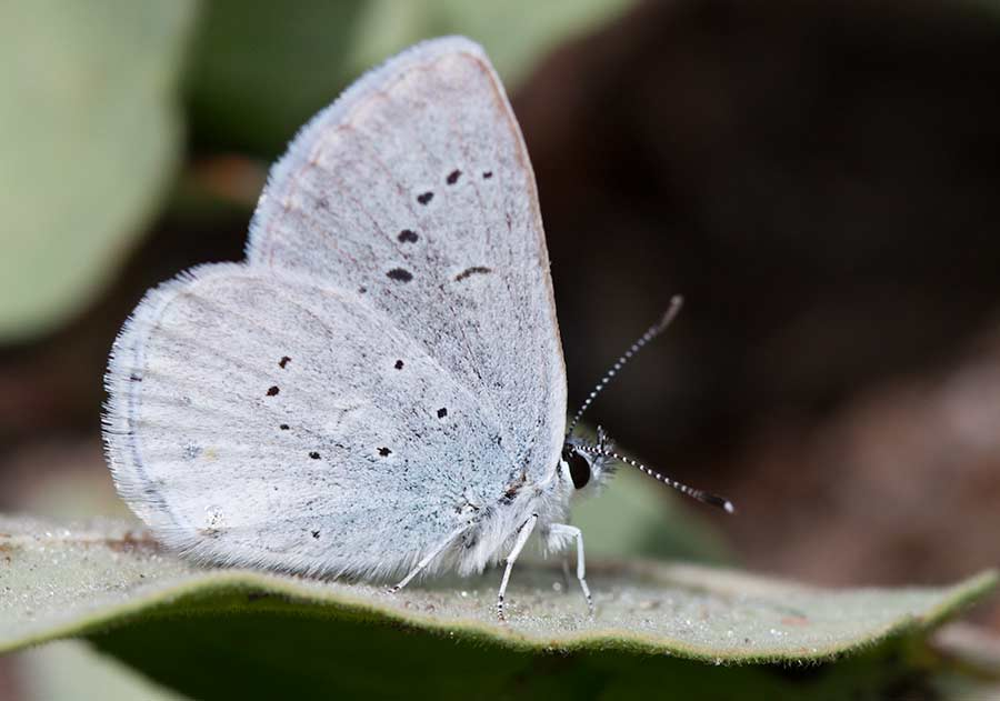 Annas Blue Butterfly