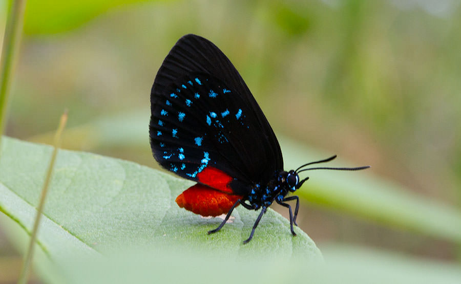 Atala Butterfly resting on a leaf in the Abaco Islands of the Bahamas.