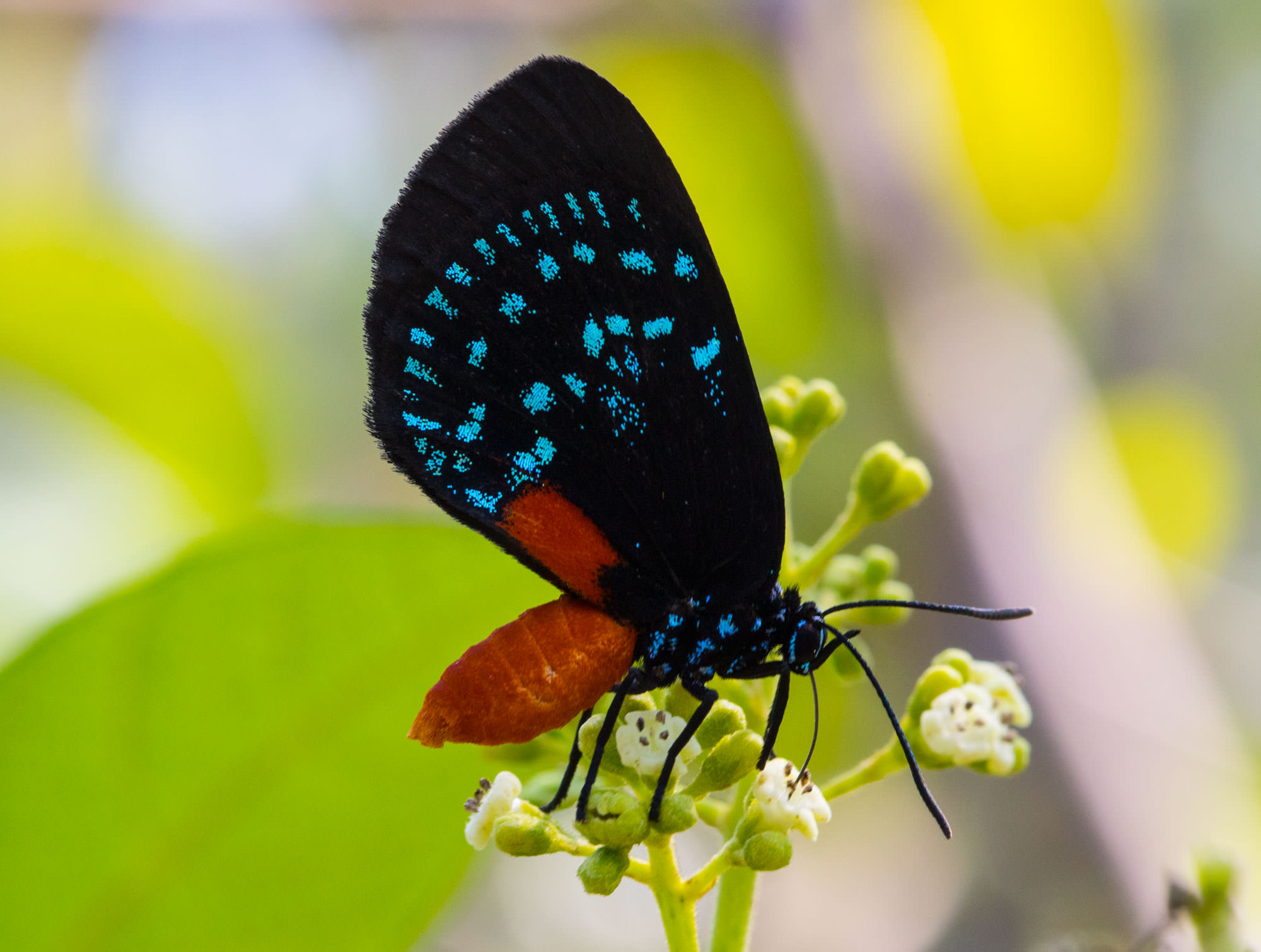 Atala Butterfly in the Abaco Wilderness