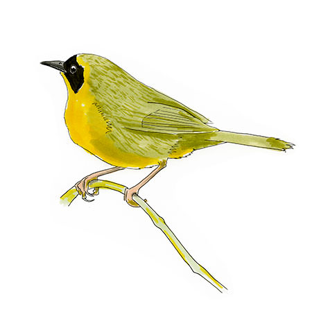 Bahama Yellowthroat Bird sketch in copic marker.
