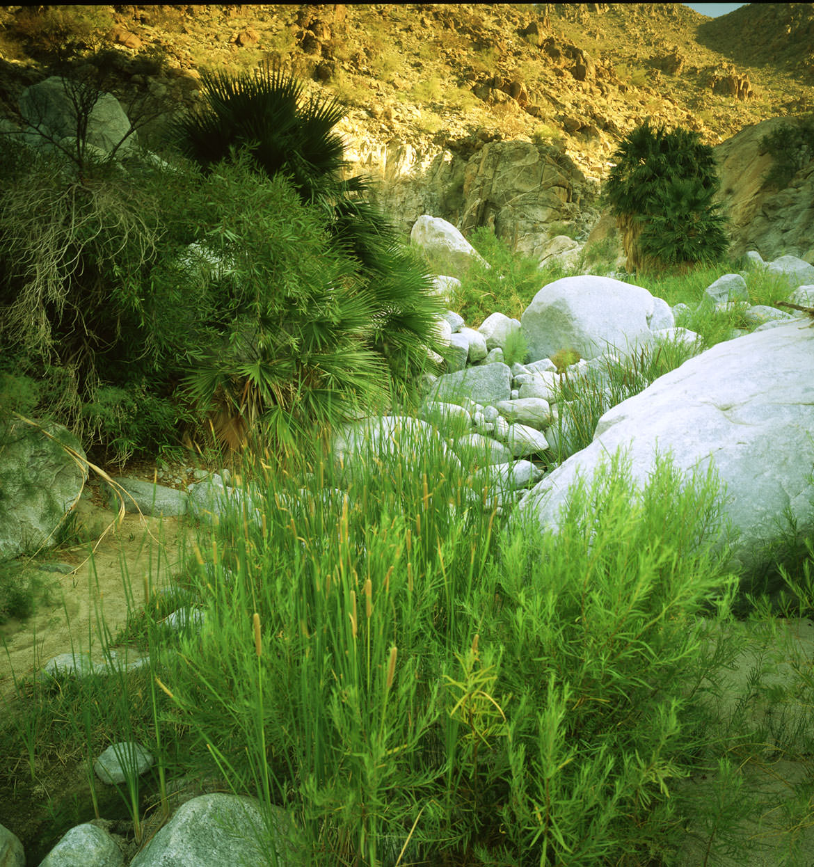 Grasses in Guadelupe Canyon