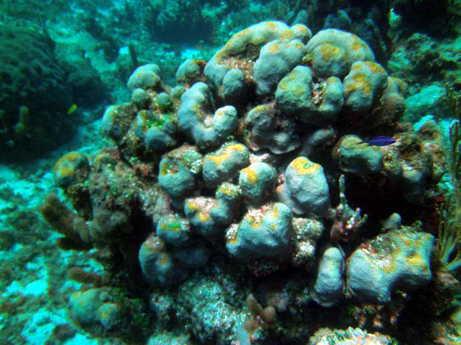 Coral Disease at Bakers Bay, Guana Cay