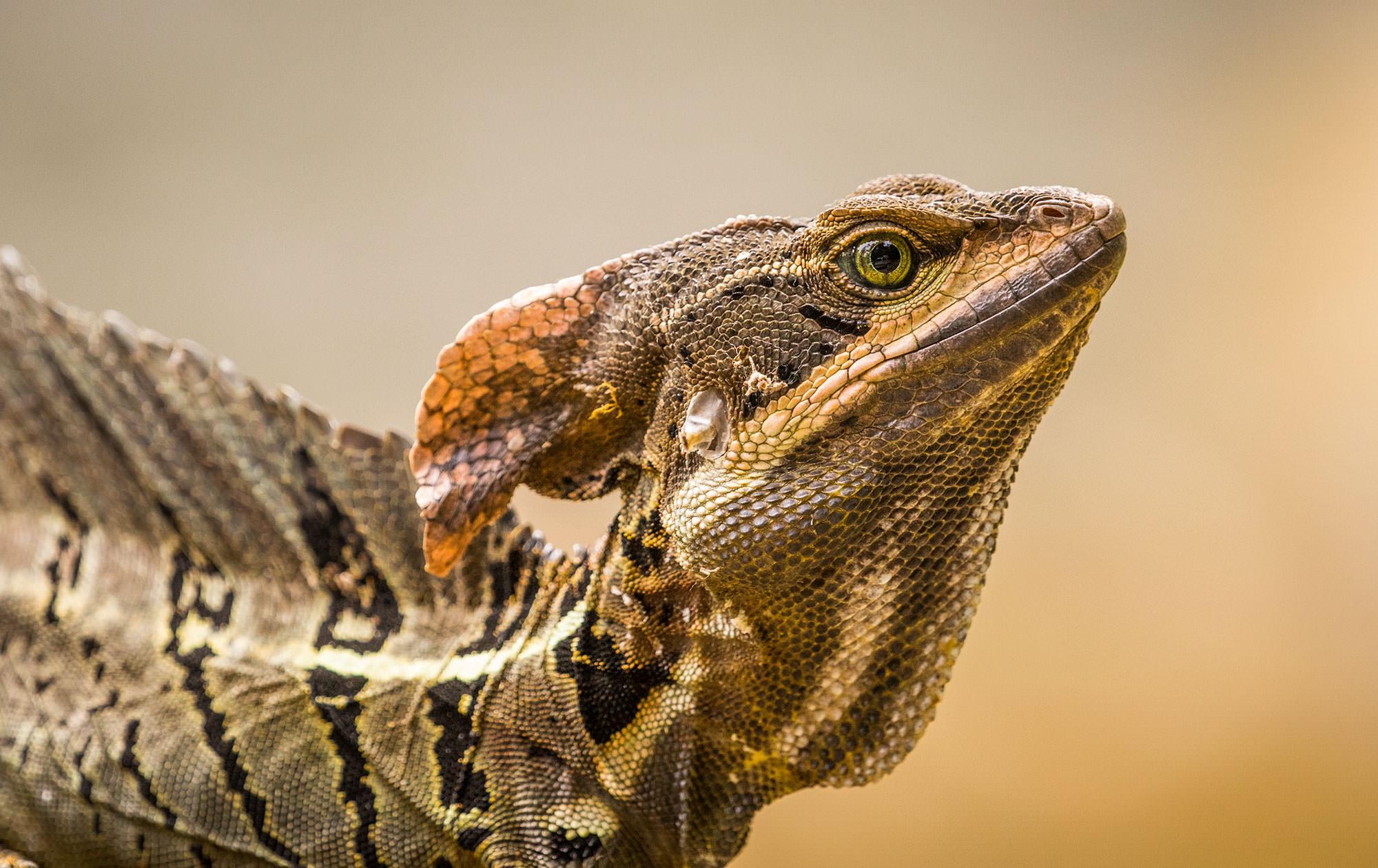 Costa Rica Basilisk Lizard