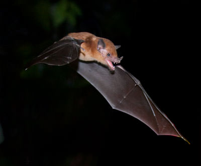 Orange Nectar-Feeding Bat