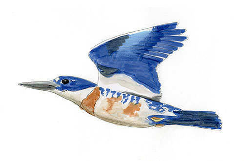 Belted Kingfisher Bird sketch in copic marker.