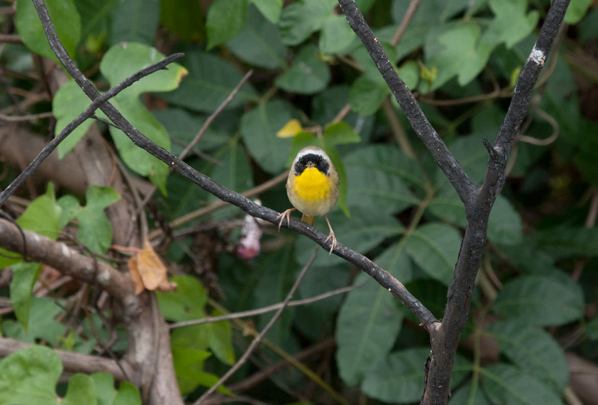 Bahama Yellowthroat in Abaco National Park, Abaco Islands, Bahamas