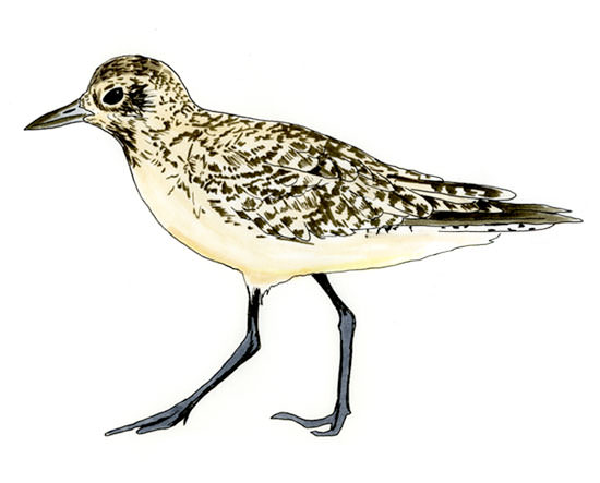 Black-bellied Plover Sketch