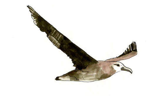 Black-footed Albatross Sketch
