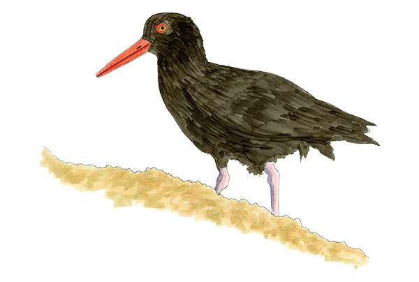 Black Oystercatcher on Oregon Coast