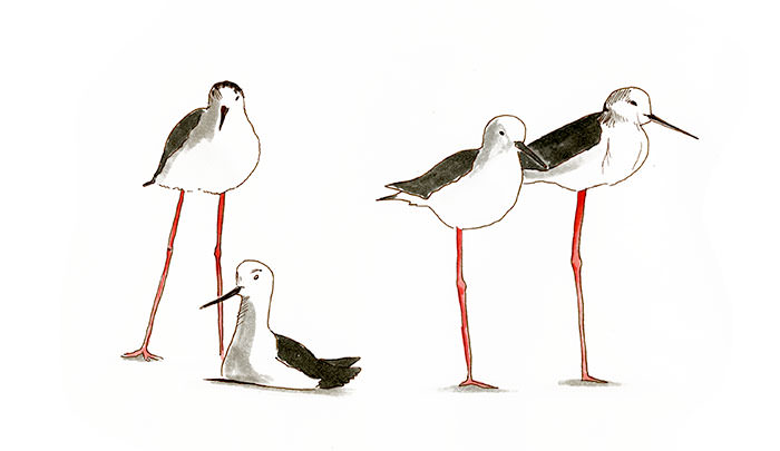 Black-winged Stilt Bird sketch in copic marker.