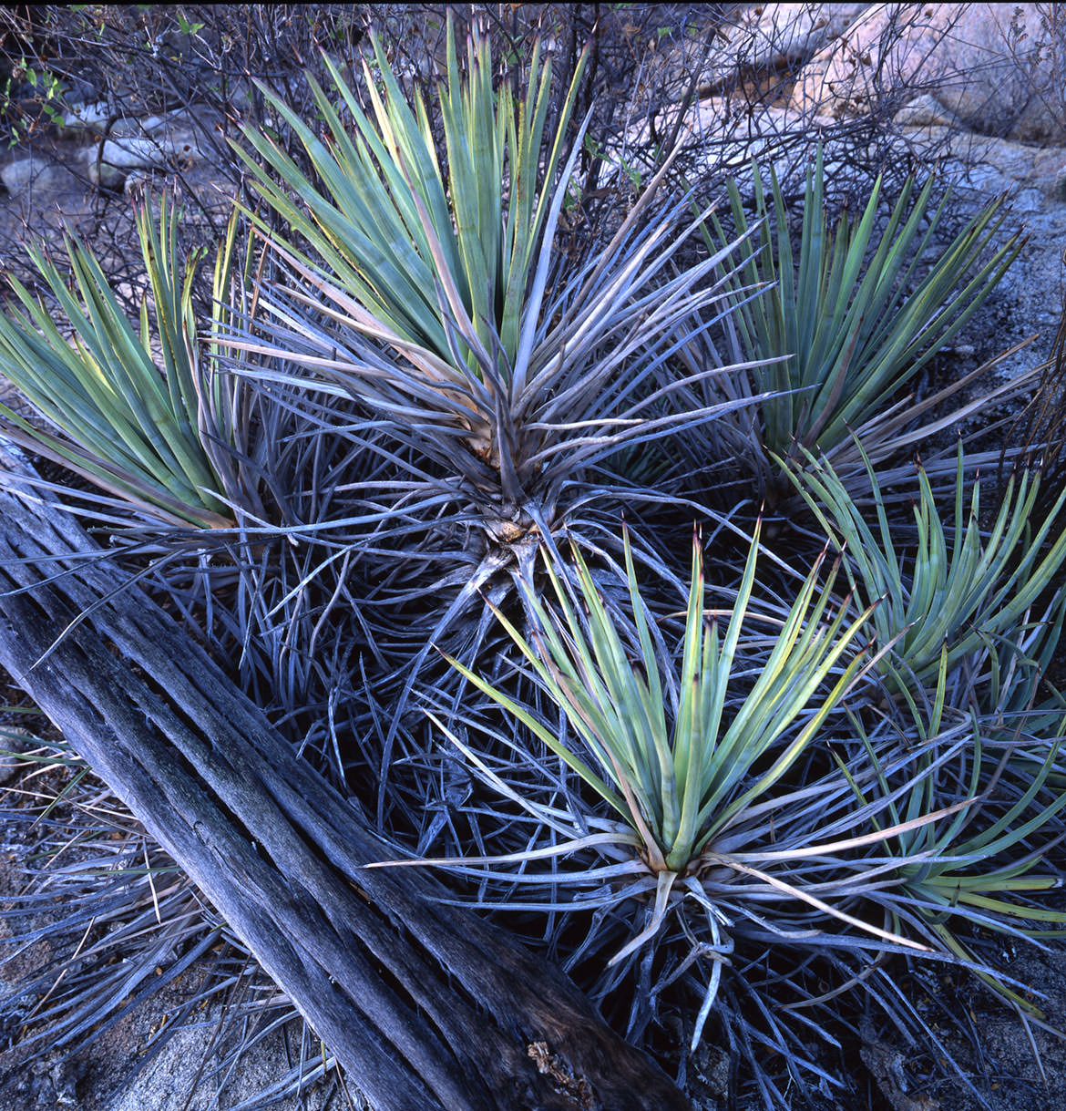 Blue Agave in the Mexican Desert