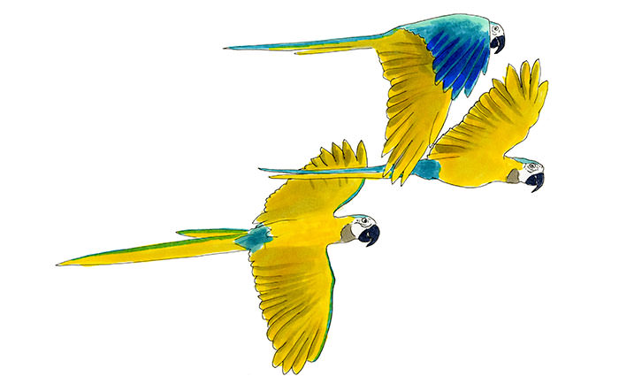 Blue and Yellow Macaw Sketch