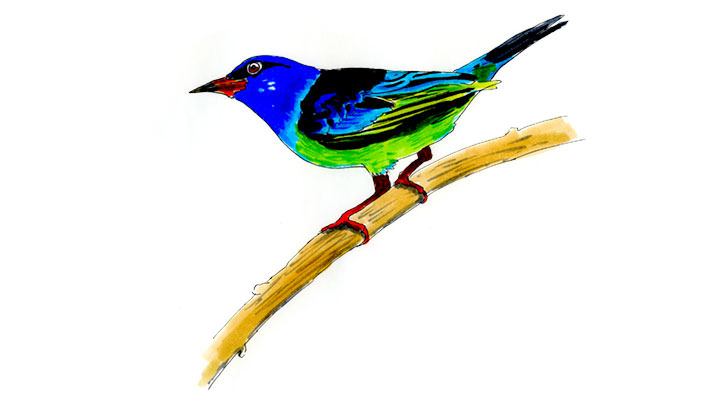 Blue Dacnis Sketch