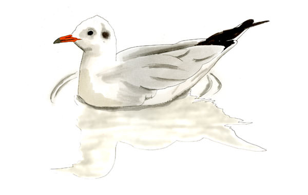 Bonaparte's Gull Bird Sketch