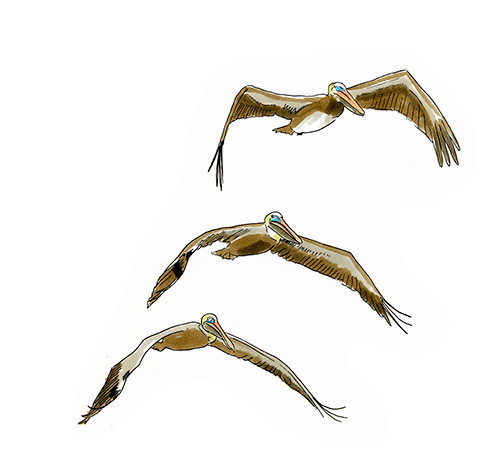 Sketch of Brown Pelicans in flight.