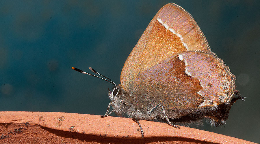 Nelson's Hairstreak Butterfly, Portland, Oregon