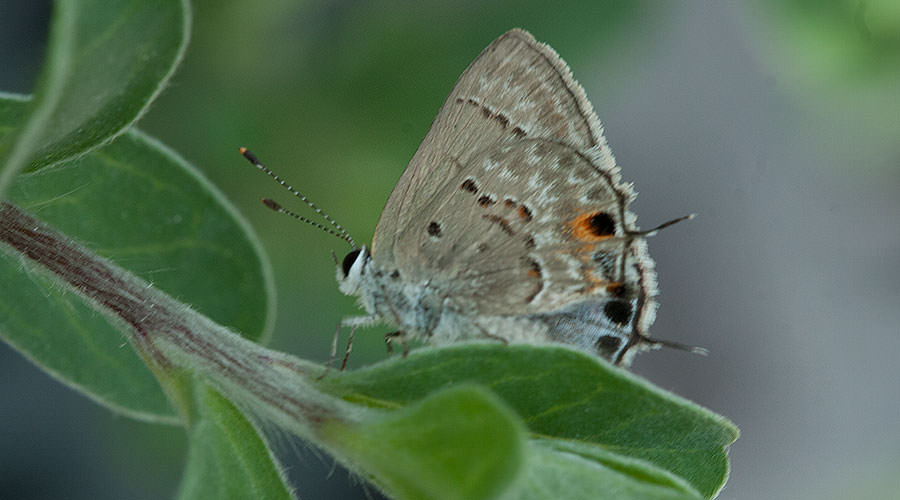 Eastern-tailed Blue Butterfly, Bahamas