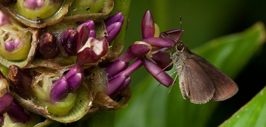 Butterfly - Skipper from Panama