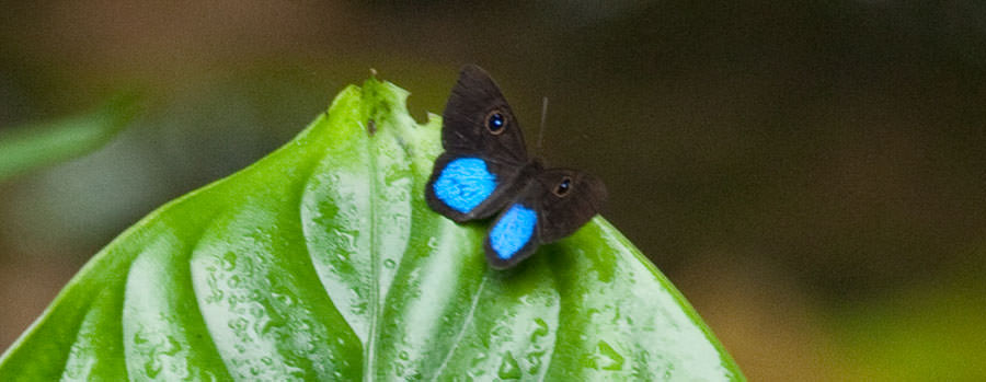 Blue-patched Eyed-Metalmark