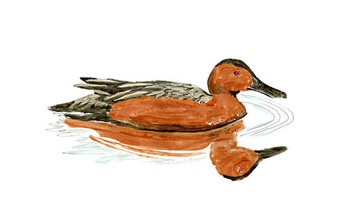 Sketch of a Cinnamon Teal at Ridgefield National Wildlife Refuge