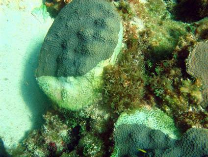 Reef Life and Death - White Plague Disease