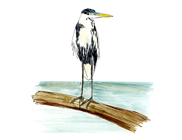Sketch of a Cocoi Heron from my bird life list.