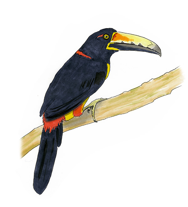 Sketch of a Collared Aracari in Panama.  One of my bird life list birds.