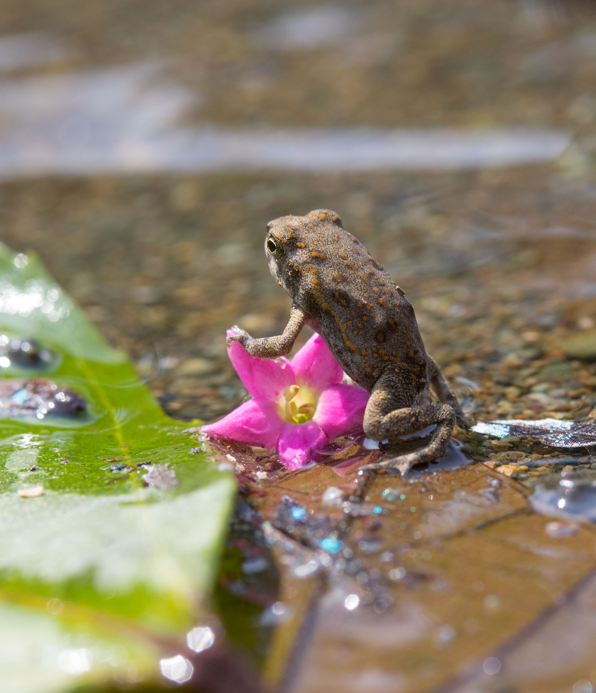 Common Toad on Flower at the mouth of Madrigal River