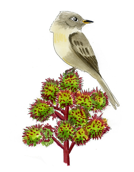 A Cuban Pewee, or Crescent-eyed Pewee, sketched in the Bahamas on a Castor Bean plant.