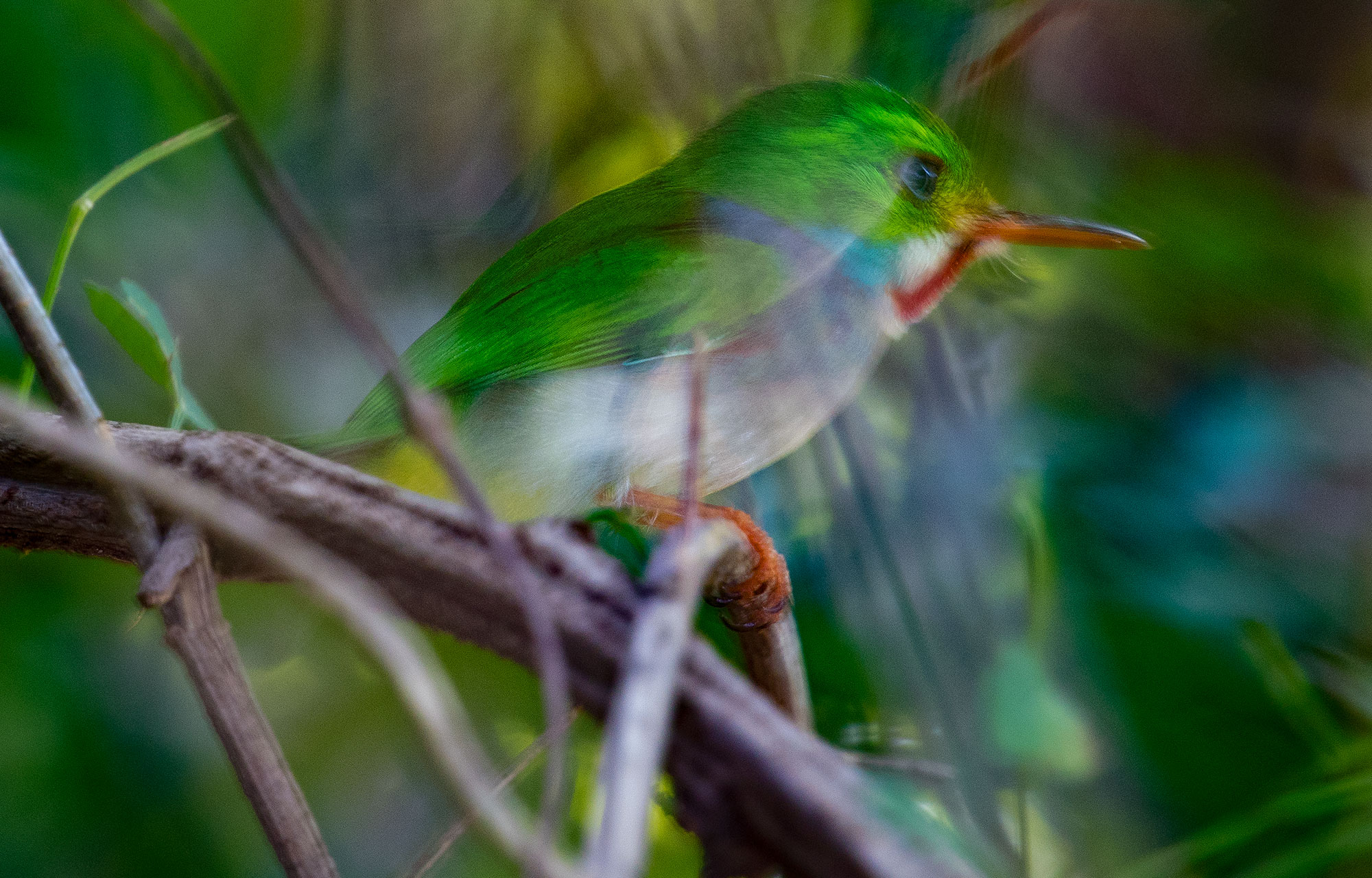 Cuban Tody Flying
