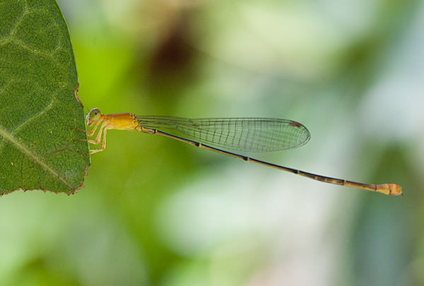 Dragonfly from Ecuador