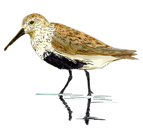 Dunlin on the Oregon Coast