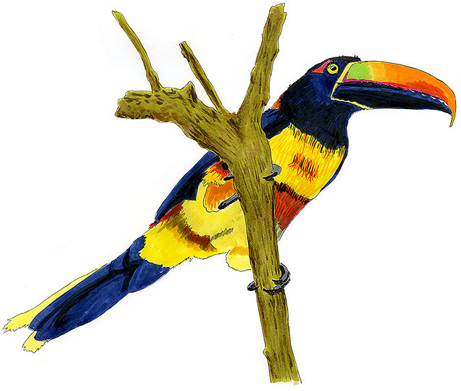 Fiery-billed Aracari Sketch