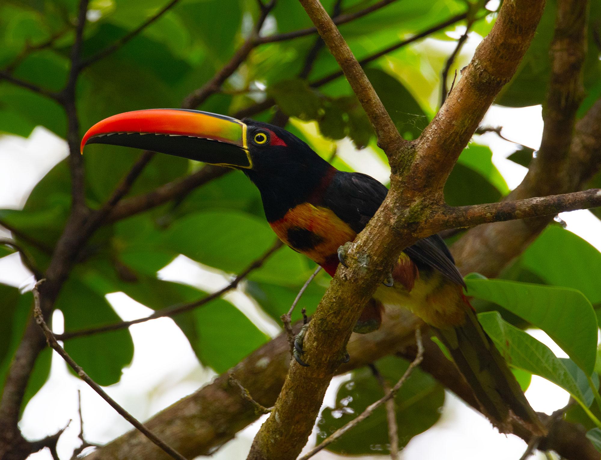 Fiery-billed Aracari in Osa Peninsula, Costa Rica