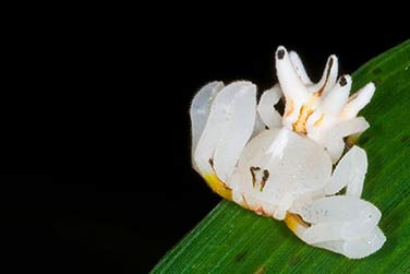 Flower Crab Spiders