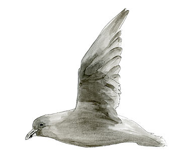 Fork-tailed Storm Petrel Sketch