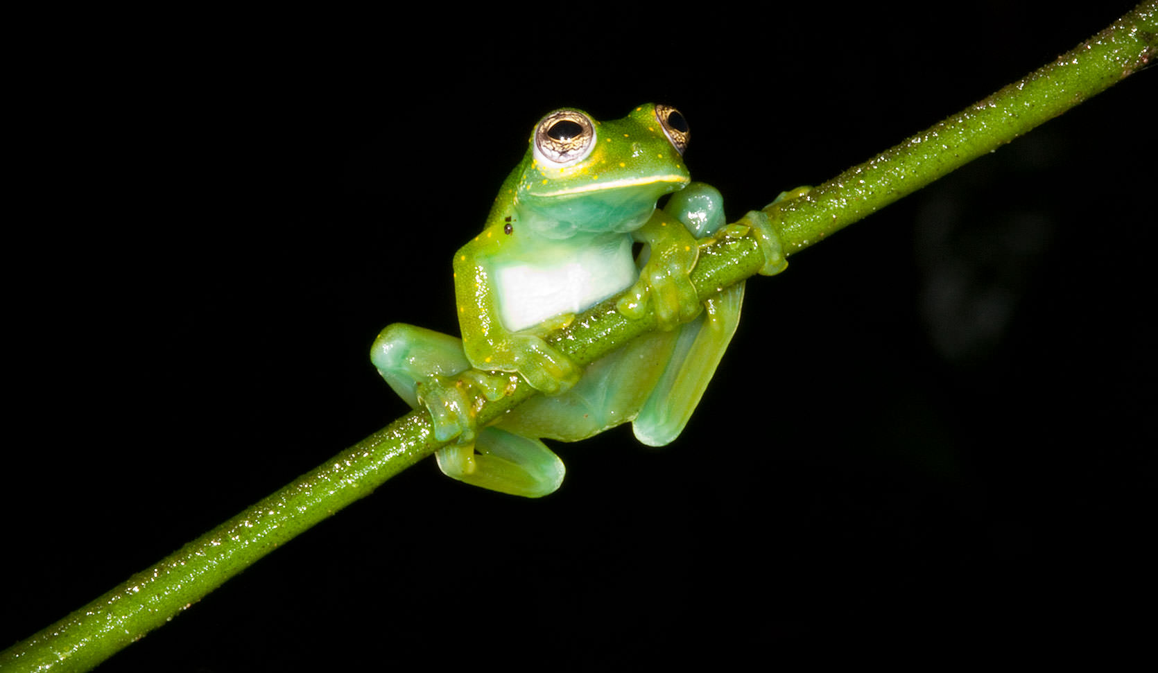 Glass Frog in the Night