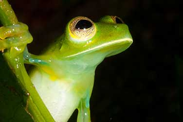The Glass Frog of El Valle