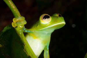 Glass Frog in Panama