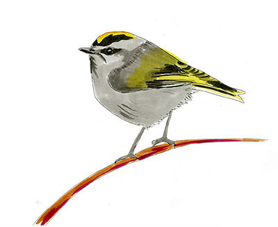 Golden-crowned Kinglet Sketch