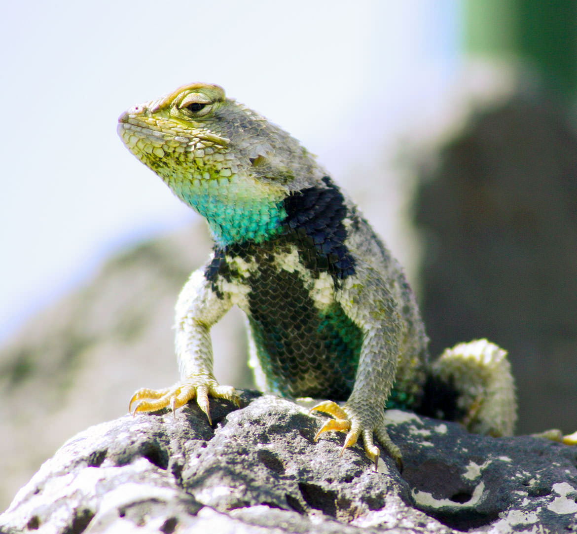 Great Basin Lizard