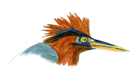 Green Heron, sketched in the Dominican Republic