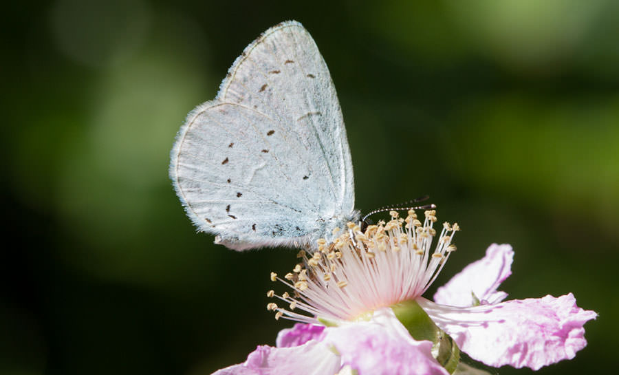Holly Blue Butterfly in Sicily, Italy