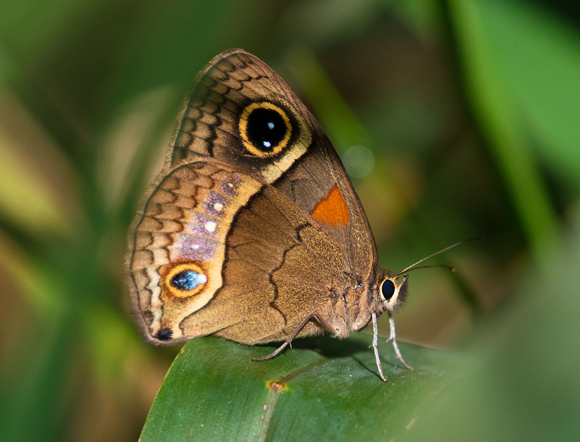 Hubners Glad Eye Butterfly