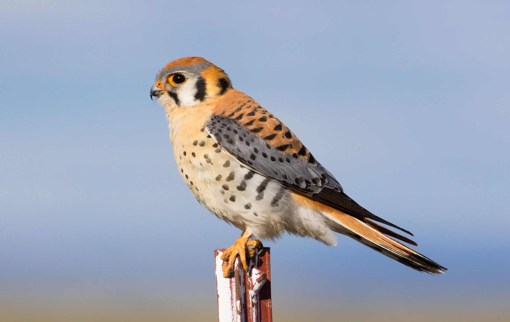 Kestrel at Malheur National Wildlife Refuge